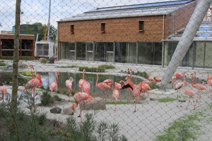 Flamingoer i zoo